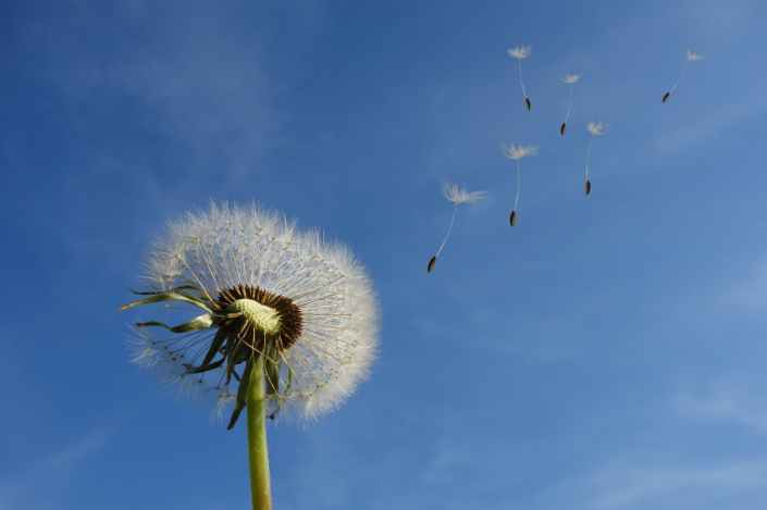 dandelion-sky-flower-nature-39669.jpeg