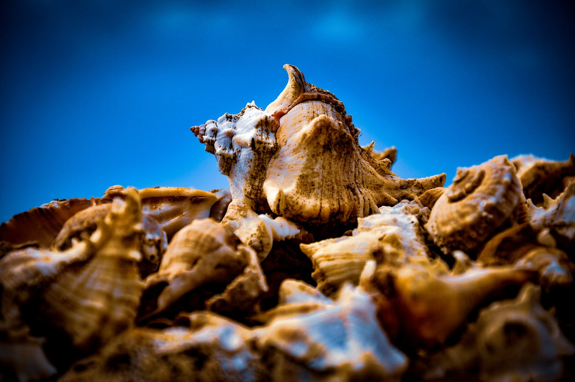 close up photo of brown conches