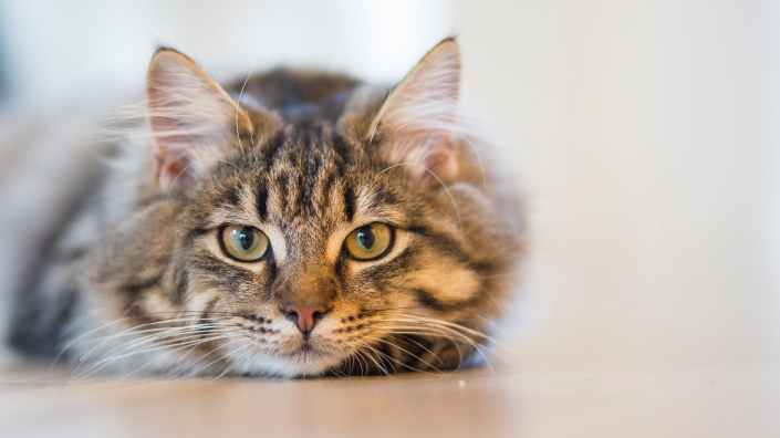 silver tabby cat lying on brown wooden surface